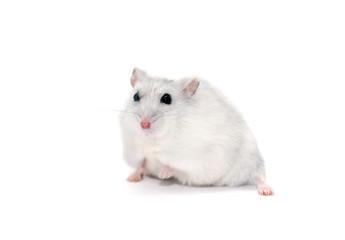 Hamster On White