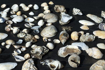 meeresschnecken; Muscheln