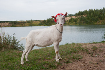 symbol of the year-goat