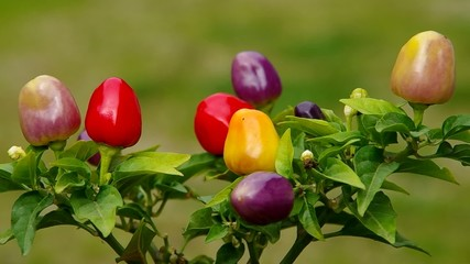 Ripening small peppers in a bush