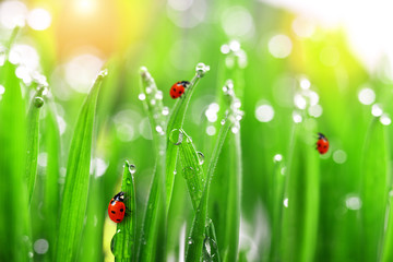 fresh green grass with water drops and ladybugs