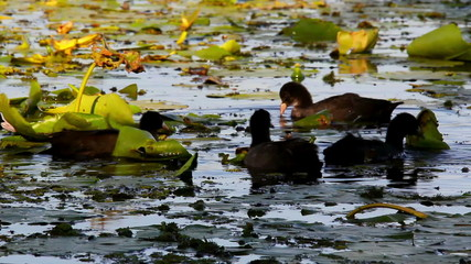 Eurasian coot searching for food in Danube Delta