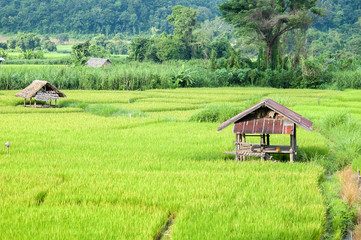 Rice field at northern part of Thailand