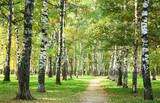 Sunny autumn morning in birch park