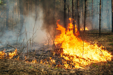 Intensive of ground forest fire in pine stand