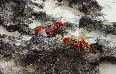 crabe rouge des Galapagos