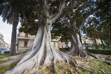 Monumental trees in Falcomatà waterfront
