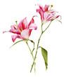 Botanical Pink Lilium flower watercolor