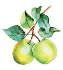 Green apples botanical watercolor