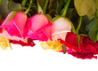 row  of fresh multicolored  roses