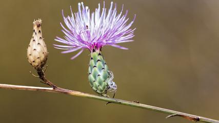 White Spider Flower