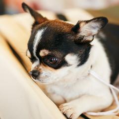 Chihuahua dog close up portrait
