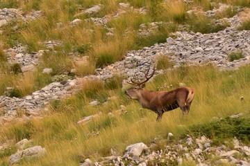 cervo rosso  bramito