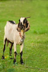 goat isolated on green field