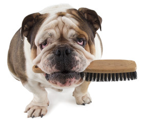 English bulldog dog sit with a brush in his mouth