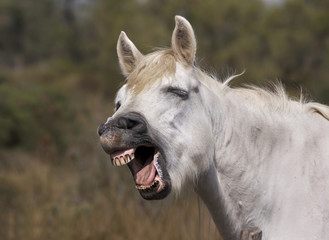 Funny horse laughing at the camera