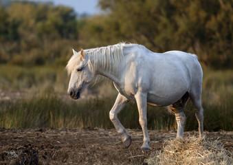 Beautiful white wild horse