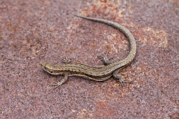 lizard on the white background