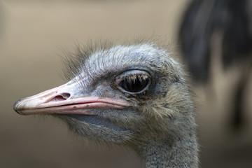 Common Ostrich Head.