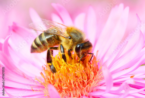 Foto op Aluminium Bee The European honey bee pollinating of The Aster.