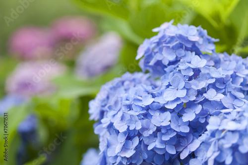 Tuinposter Hydrangea アジサイの花