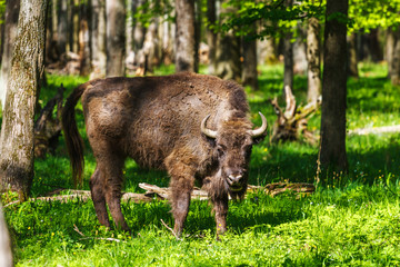 European bison in Prioksko-Terrasny Nature Reserve