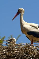 Cigüeña con su polluelo