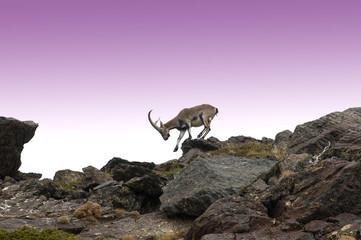 Macho de cabra montes en Sierra Nevada.Granada.España