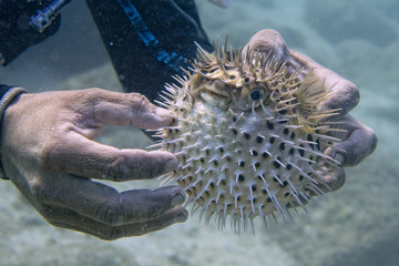 Inflated porcupine puffer fish fish