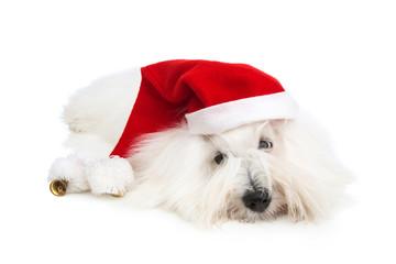 Kleiner Coton de Tulear Hund als Weihnachtsmann isoliert