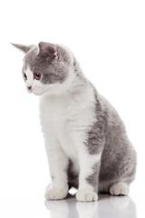 kitten on a white background. gray kitten