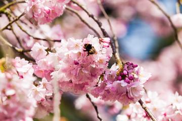 Beautiful Cherry blossom , pink sakura flower