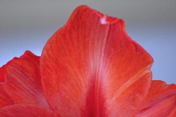 Detail einer roten Amaryllis