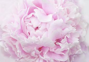 pink peony petals close-up