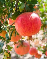 Ripe pomegranate  fruits  on  tree branch.