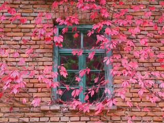 Backsteinhaus, Sprossenfenster mit wildem Wein bewachsen