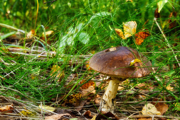 brown cap boletus in the forest
