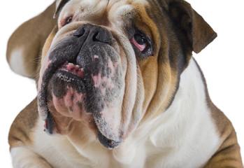 Head of English bulldog dog looking up