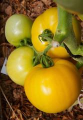 Big yellow  tomato in greenhouse growing.