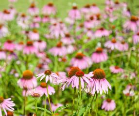 field with purple coneflowers - echinacea
