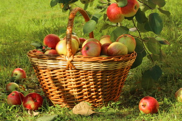The basket with apples at the garden.