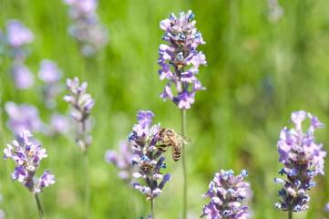 honeybee collecting nectar on a lavender bloom