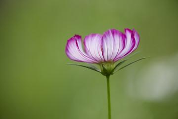 紫と白色に咲くコスモス