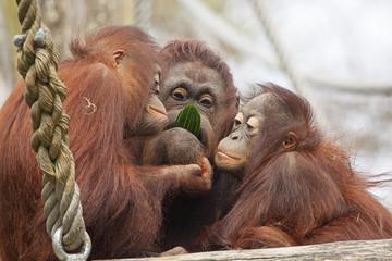 Oeran oetans eten samen een komkommer.