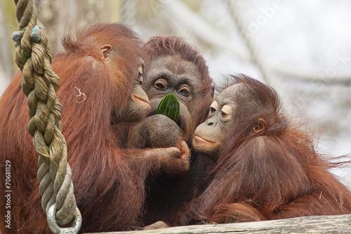 Oeran oetans eten samen een komkommer. Poster
