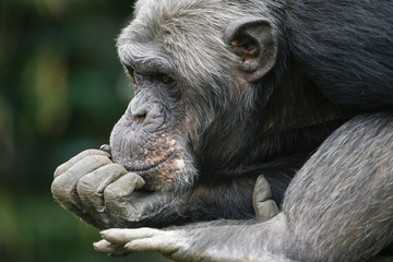 Chimpansee in dromenland.