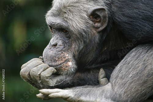 Foto op Canvas Aap Chimpansee in dromenland.