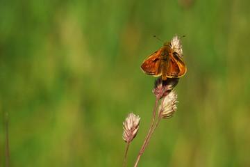 Papillon Sylvaine