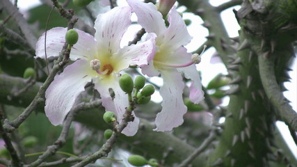 Chorisia speciosa tree flower