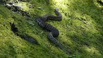 危険なヘビ。毒をもつマムシ_7